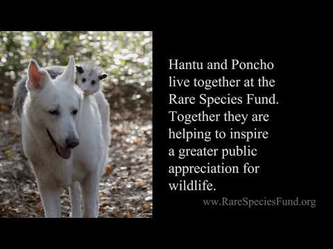 Dog Adopts Baby Opossum - Animal Friendship | Myrtle Beach Safari