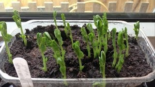Growing Greens Indoors During Winter, including Sprouting Seeds