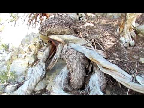 Oldest Trees On Earth in the Bristlecone Pine Forest