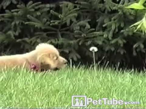 When a Puppy Attacks (A Weed)- PetTube
