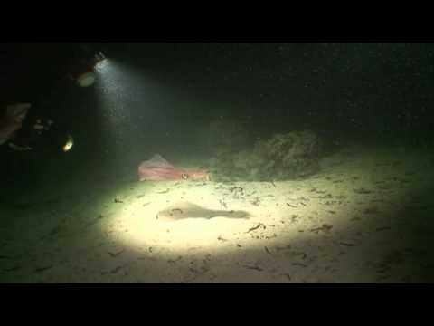 Diveworld Videos | Night Dive with Squid