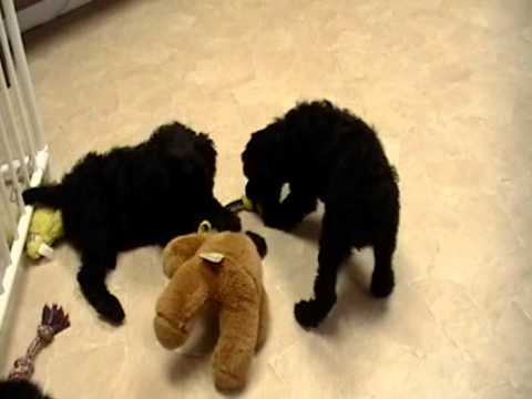 brown-standard-poodle-puppies-for-sale