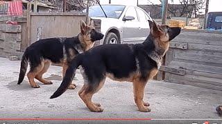 СУПЕР ЩЕНКИ немецкой овчарки. Super puppies German Shepherd!Одесса.