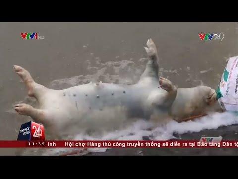 Kinh Hoàng Những Con Lợn Chết Được Phù Phép Thành Lợn Mán