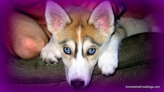 Siberian Husky Puppies!! Cute Puppies Shedding - Fan Friday #83