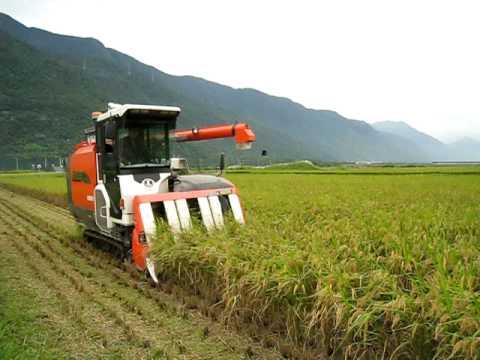 有機稻田二期稻作歡喜收割(一)