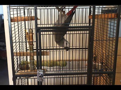 Mon perroquet ZEUS un gris du gabon à 10 mois ce jour