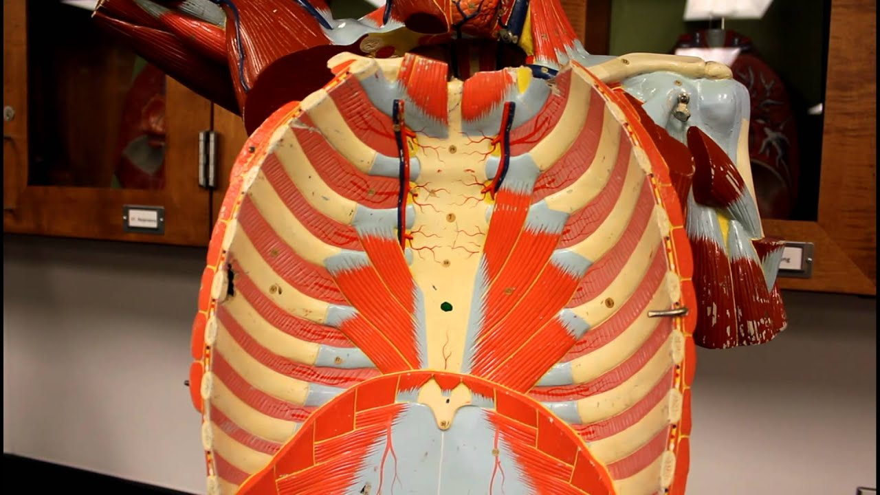 MUSCULAR SYSTEM ANATOMY:Muscles of the Thoracic cage torso model ...