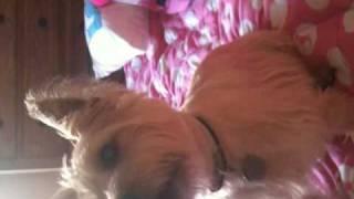 Cairn Terrier Tricks
