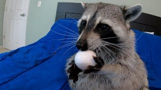 Trying the egg challenge with my pet raccoon