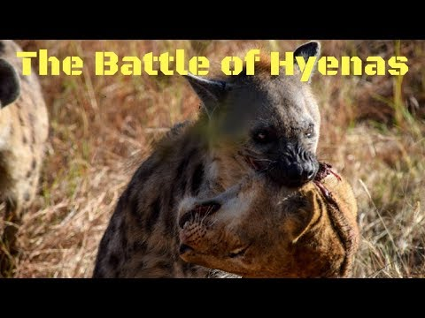 The Battle of Hyenas - Battle For Survival - Nat Geo wild Documentary