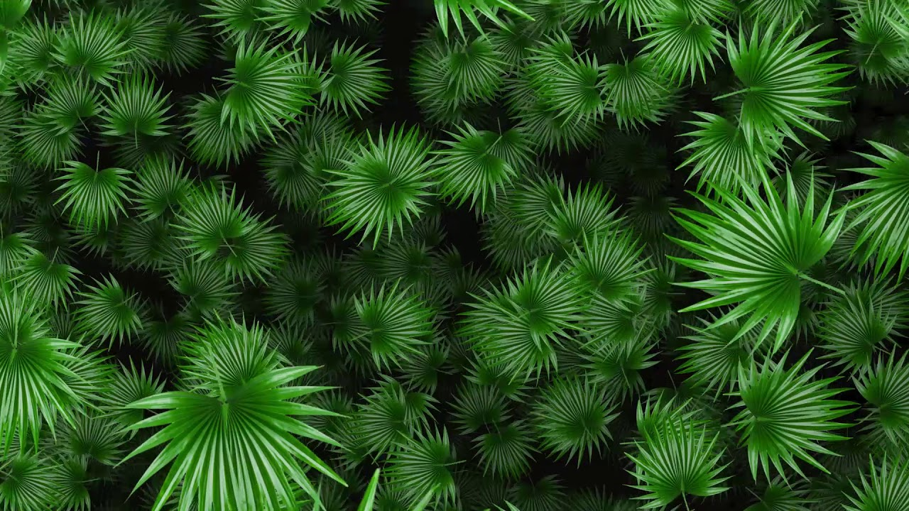 Green Fan Palm Tree Leaf Moving Animation Background Youtube Graphics for your posters and ads. green fan palm tree leaf moving animation background