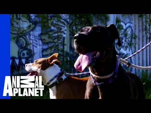 Waiting for a Forever Home: Thick and Molasses | Pit Bulls & Parolees