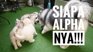 SPIKE MARAH BESAR KE PUPPIES !!!
