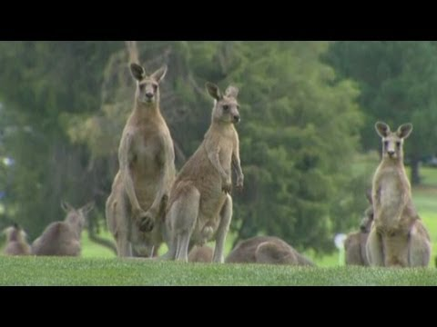 Kangaroos storm golf course during Women's Australian Open in Canberra
