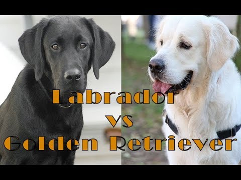 Differences Between Labrador and Golden Retriever
