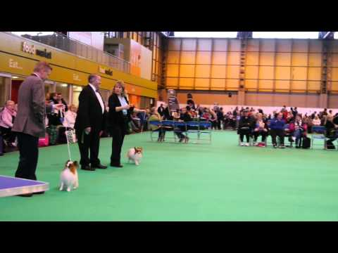 00040  challenge for Papillon Best of Breed at Crufts 2015