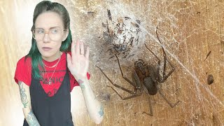Brown Recluse lays THIRD EGGSAC - what's inside?