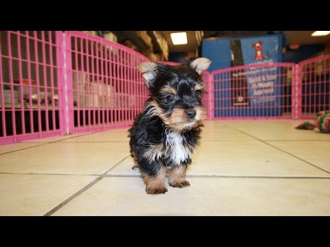 Yorkshire Terrier, Yorkie, Puppies For Sale, In Fayetteville, County, North Carolina, NC, 19Breeders