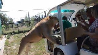 Leão pula e invade carro de safári aberto para brincar com turistas na Crimeia