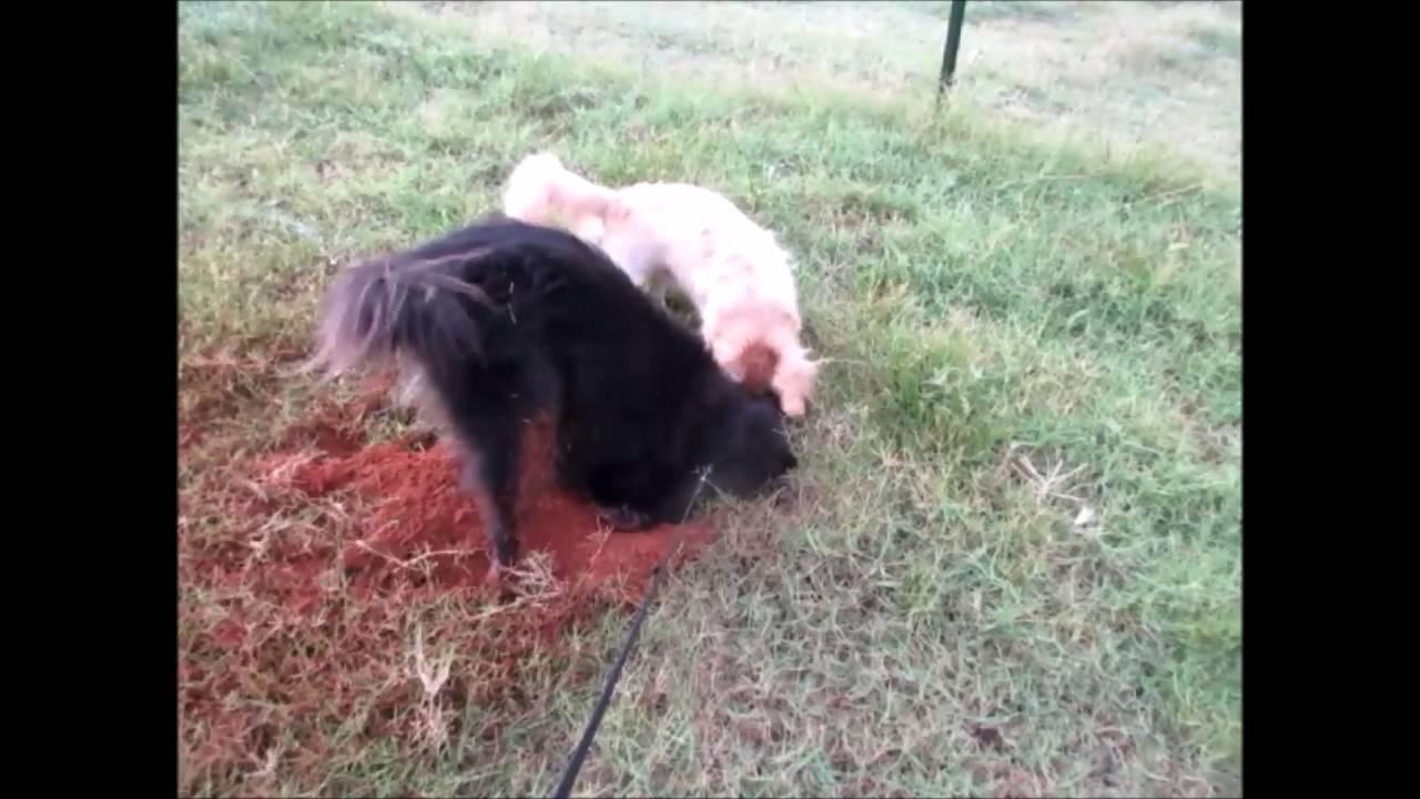 Dirty Dog Gopher Hunt Youtube