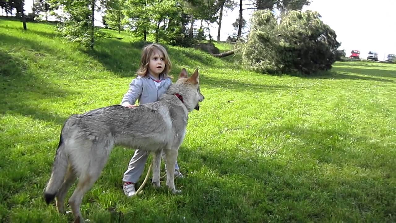 Lupo Cecoslovacco E Bambini Comportamento Con Bambina Irene Youtube