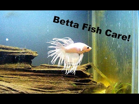 How to care betta fish youtube for How to take care of beta fish