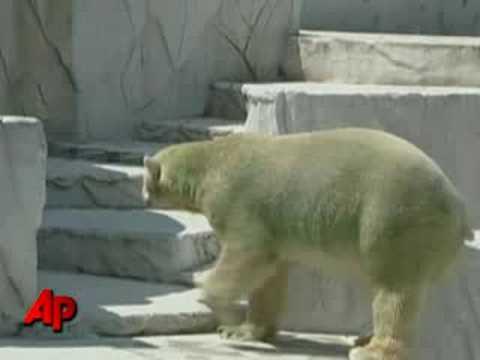 Raw Video: Green-Colored Polar Bears