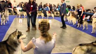 Выставка собак Евразия-2 хаски кобели класс чемпионов