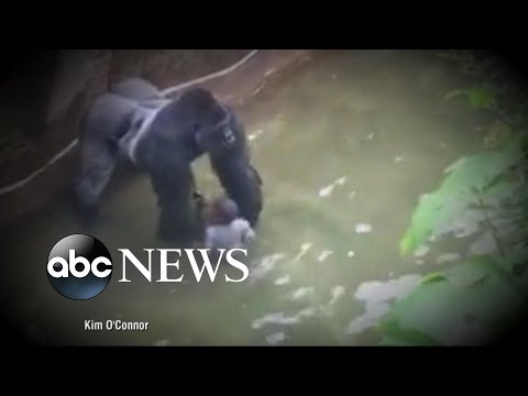 Criminal Probe Launched into Gorilla Incident at Cincinnati Zoo