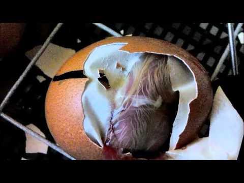 в яйце пищит цыпленок
