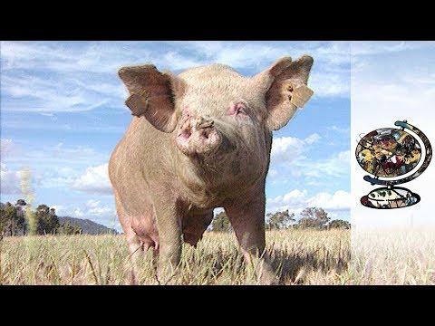 Australia's Great Southern Piggery (1998)