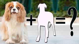Top 10 incredible Cavalier King Charles Spaniels cross breed | King Spaniel mix breeds