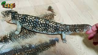 세번째 껍질을 벗겨낸 도마뱀의 놀라운성장