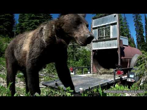 FWP - The Outside: Grizzly Bears