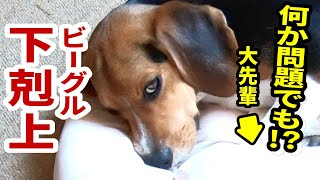 ビーグル犬の大先輩スヌーピー先生にハピちゃんがまさかの仕打ちを!幼...