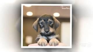 Video Miniature Schnoxie Dog breed download MP3, 3GP, MP4, WEBM, AVI, FLV November 2017