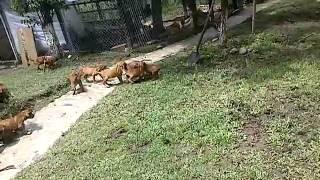 Venta cachorros Rhodesian Ridgeback cazadores de leones