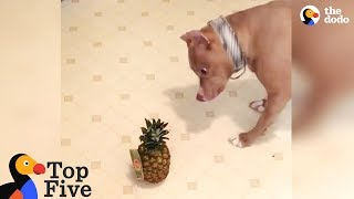 Pit Bull Dog Is Terrified Of Pineapple + Funny Dog Videos | The Dodo Top 5