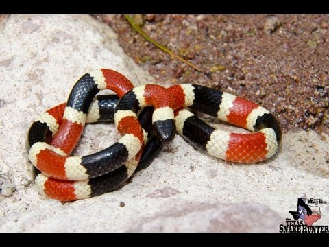 Arizona Coral Snake| Coral Snake