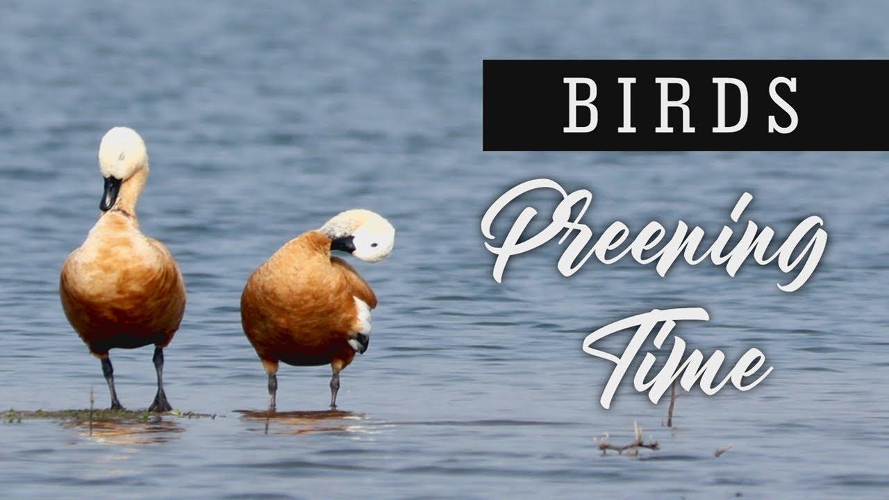 Birds - Preening Time
