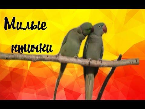 Александрийский и ожереловый ПОПУГАЙ чистят друг друга!  Parrot! BIRD SPACE