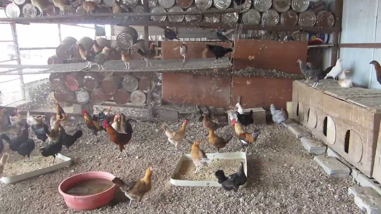"""Résultat de recherche d'images pour """"تربية الدجاج المغربي"""""""
