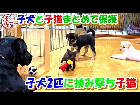 【子猫 子犬 保護犬 保護猫】子犬2匹に挟み撃ちされる子猫 を見守るラブラドール