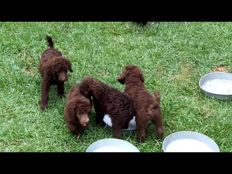 Standard Poodle Puppies For Sale (RegalStandardPoodles.com)