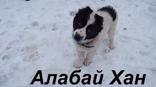 Алабай и московская сторожевая. Снег,собакам нравится. Немного истории щенка среднеазиата САО
