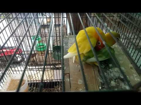 Cara Burung Lovebird Kawin Youtube