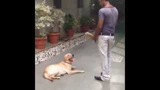 White Labrador Trained By Anurag