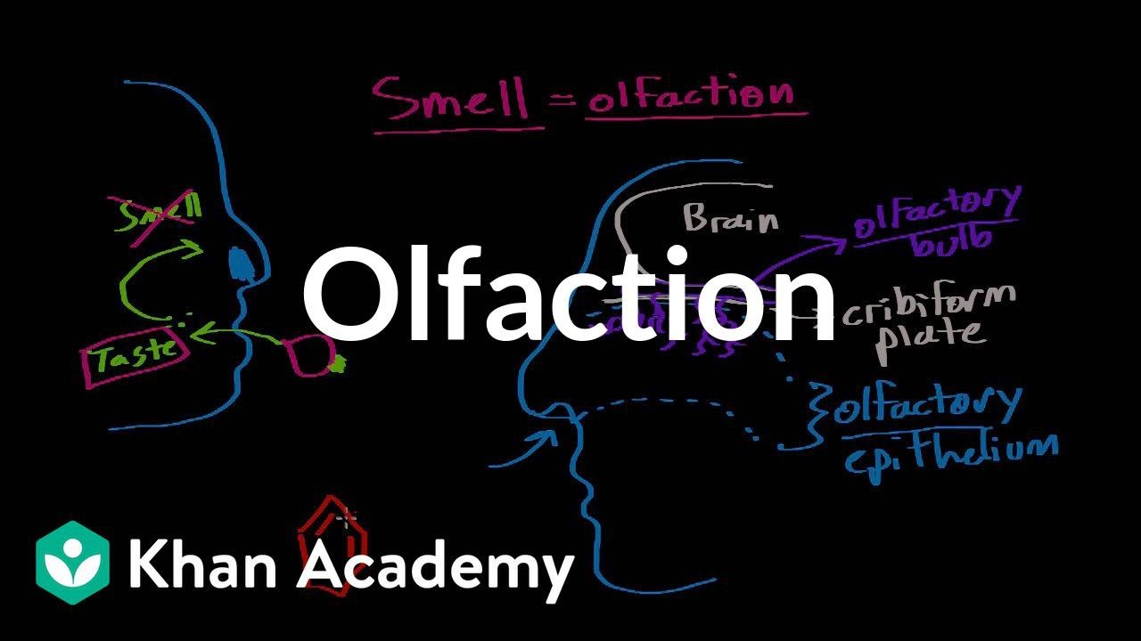 Navigator Neurons Play Critical Role In Sense Of Smell >> Olfaction Structure And Function Video Khan Academy