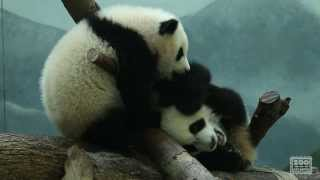 The Giant Panda Cubs Discover Biscuits